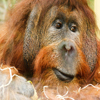 Click here to play Orangutan