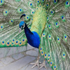 Peacock Closeup Jigsaw