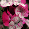 Pink And White Flowers Jigsaw
