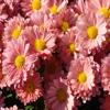 Pink Daisies Jigsaw