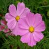 Pink Flowers Jigsaw