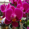 Pink Orchid Jigsaw