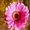 Pink Peddles Jigsaw