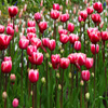 Click here to play Pink Tulips