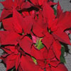 Click here to play Poinsettia