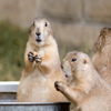 Click here to play Prairiedogs