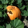 Click here to play Pumpkin Hiding