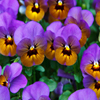 Purple Pansies Jigsaw