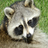 Click here to play Raccoon