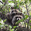 Raccoons Jigsaw