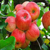 Red Apples Jigsaw