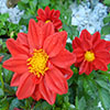 Red Dahlia Jigsaw