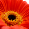 Red Gerbera Jigsaw