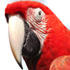 Red Macaw Jigsaw