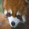 Red Panda Jigsaw