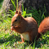 Red Squirrel Jigsaw