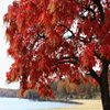 Red Tree Jigsaw