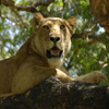 Resting Lion Jigsaw