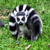 Ring Tailed Lemur Jigsaw