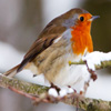 Robin In Winter Jigsaw