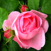 Rose And Buds Jigsaw