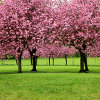 Click here to play Sakura Trees
