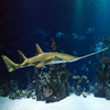 Click here to play Sawfish