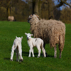 Click here to play Sheep And Lamb