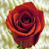 Click here to play Single Red Rose