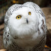 Click here to play Snowy Owl