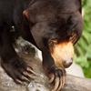 Click here to play Sun Bear