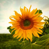 Sunflower 2 Jigsaw