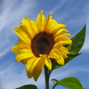 Click here to play Sunflower
