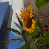 Sunflower in the City Jigsaw
