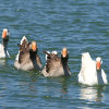 Swimming Geese Jigsaw