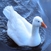 Click here to play Swimming Goose