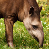 Click here to play Tapir