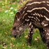 Click here to play Baby Tapir