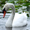 Click here to play The Lovely Swan