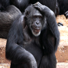 Click here to play Thinking Chimpanzee