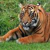 Click here to play Tiger Portrait