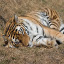 Click here to play Sleeping Tiger