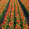 Click here to play Tulip Field