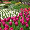 Tulip Garden Jigsaw