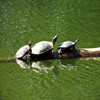 Turtle Parade Jigsaw