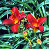 Click here to play Twin Tiger Lilies
