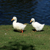 Two Ducks Jigsaw