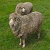Two Sheep Jigsaw