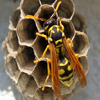 Wasp Jigsaw