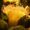 Click here to play Yellow Actinia